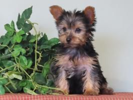 Puppies For Sale Buckeye Puppies In 2020 Puppies For Sale Puppies Yorkshire Terrier Puppies