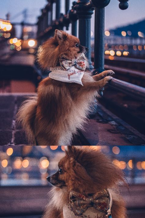 Reynard the Pomeranian is wearing the Chelsea decadant dog floral bow tie. He is wearing the size regular. This beautifully handmade dog bow is available in 3 size options. Makes for a super fancy dog accessory for any of your photo ops! #dogbow #fancydogbowtie #fancydog #fancydogaccessories #dogs #pomeranian #dogmodel #dogstyle #pspup #pupsociety
