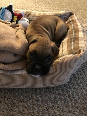 Boxer Puppy For Sale In Tallahassee Fl Adn 59362 On Puppyfinder