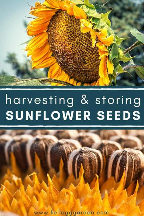 HARVESTING & STORING SUNFLOWER SEEDS How to Harvest and Store Sunflower Seeds. Sunflowers bloom through the summer and even into the autumn months, depending upon where you live. At the end of your sunflower season, keep an eye on your flowers to determin Planting Sunflower Seeds, Planting Sunflowers, Sunflower Garden, Planting Seeds, Sunflower Seeds For Birds, Sunflower Seed Recipes, Sunflower House, Garden Seeds, Garden Plants