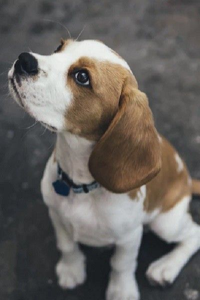 1938 Beagle The Most Popular Dog Breed The Year You Were Born