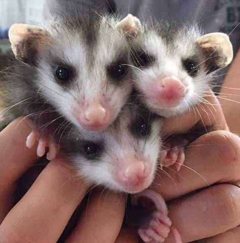 20 Pictures of Filling the quota of baby opossums in this sub #aww #cute #adorable