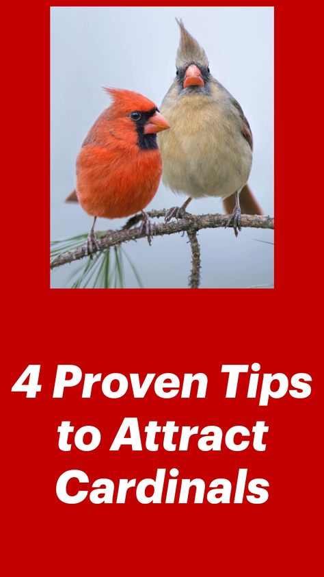 4 Proven Tips to Attract Cardinals