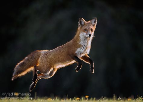 Jumping fox www.vladkamenski.com