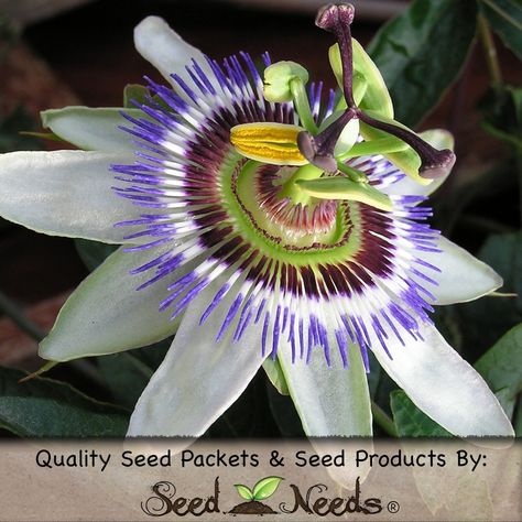 Royal Blue Passion Flower Seeds Passiflora Caerulea With Images Passiflora Caerulea Blue Passion Flower Passion Flower