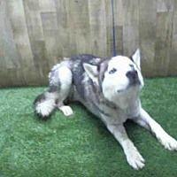 Orlando Fl Siberian Husky Meet Steele A Dog For Adoption