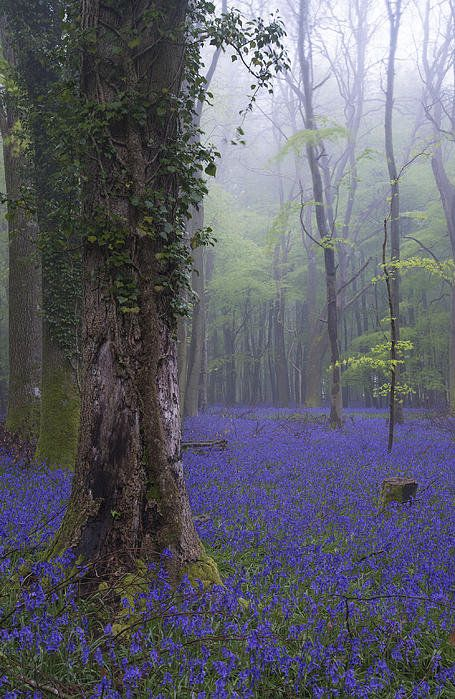 Vibrant Bluebell Carpet Spring Forest Foggy Landscape Digital Painting by Matthew Gibson Fantasy Landscape, Landscape Art, Beautiful World, Beautiful Places, Spring Forest, Nature Aesthetic, Aesthetic Vintage, Aesthetic Pictures, Pretty Pictures
