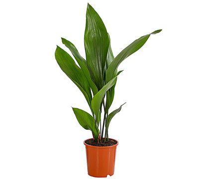 Schusterpalme Dehner In 2020 Kaktus Pflanzen Palm