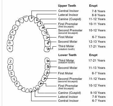 Human Teeth Chart Vs Dog Cat Horse Dental Charts