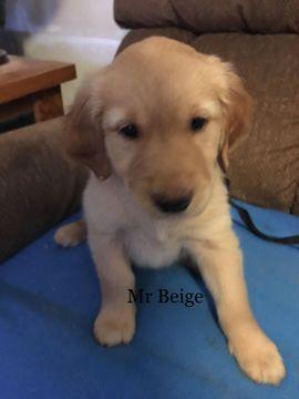 Golden Retriever Puppy For Sale In El Dorado Springs Mo Adn