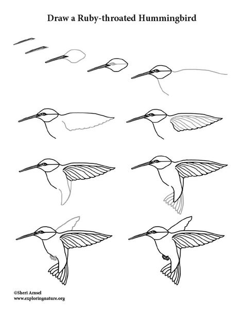 Hummingbird (Ruby-throated) Drawing Lesson