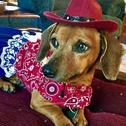 Available Pets At Diamond Dachshund Rescue Of Texas In San Antonio Texas With Images Dachshund Rescue Dachshund Rescue