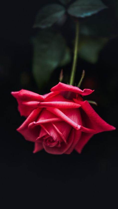 Red Rose, Petals, Close-up, Bloom