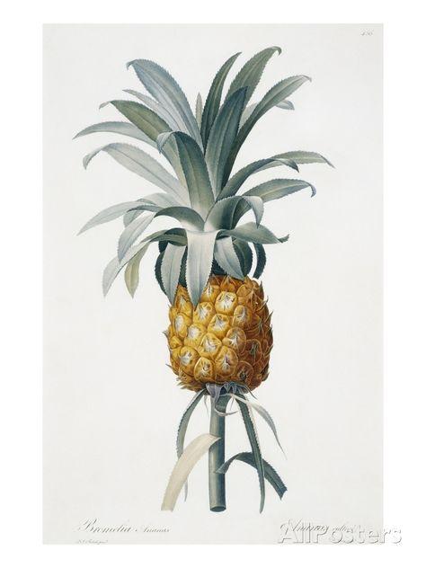 Giclee Print: Bromelia Ananas by Pierre Joseph Redoute :
