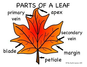 Parts Of A Leaf Diagram Freebie Plant Life Cycle Science Experiments Kids Fall Preschool Activities