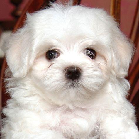 Pin Von Leyla K Auf Pets Malteserwelpen Malteser Hund Babyhunde