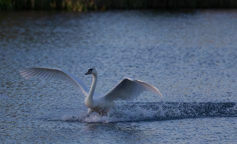 Free Image on Pixabay - Swan Landing In Water, Swan