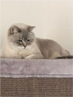 Bkh Britisch Kurzhaar Katze Sucht Neues Zuhause In Einzelhaltung In Nordrhein Westfalen Wassenberg Britisch Kurzhaar Kat Kurzhaar Katzen Katzen Katzenbabys