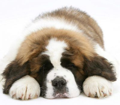 A Saint In The White House St Bernard Puppy Puppy Images