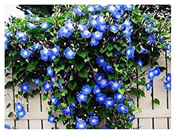 Amazon Com 250 Heavenly Blue Morning Glory Blooming Vine Seeds Wonderful Climbing Heirloom Vine Mornin In 2020 Blue Morning Glory Morning Glory Vine Shade Plants