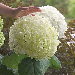 20 Colorful Plants for Shade Gardens  For really large clusters, grow H. arborescens 'Incrediball', which has 12-inch heads that open lime green, turn snowy white, then age to pale green on plants to 10 feet tall.