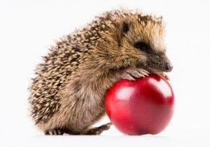 Netter Igel Mit Apfel Apple Netter Herbsttiere Igel Apfel