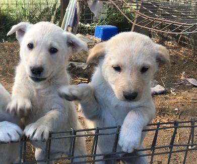 2 Female Red Kelpie X Labrador Cattle Dog Dogs Puppies Gumtree Australia Logan Area Cedar Grove 1159743829 Dogs Puppies Dogs Puppies
