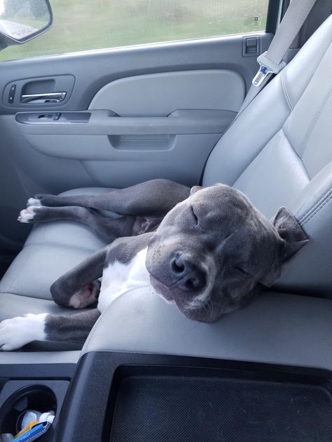 Cute Pitbull Puppies, Cute Little Puppies, Cute Little Animals, Cute Dogs And Puppies, Cute Funny Animals, Baby Dogs, Doggies, Blueline Pitbull, Amstaff Terrier
