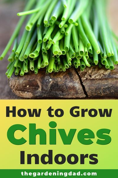 10 Proven Tips How To Grow Chives The Gardening Dad Growing Chives Growing Herbs At Home Chives