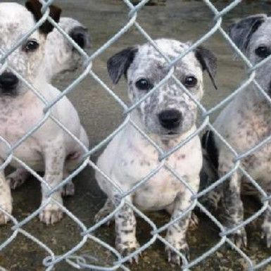 Blue Heeler Terrier Mix Puppies Images Pictures Becuo Puppy