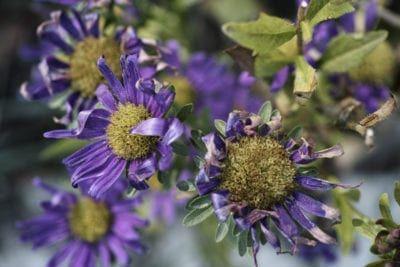 Aster Wilt Disease How To Treat Aster Wilt Symptoms Plants Flowers Perennials Aster