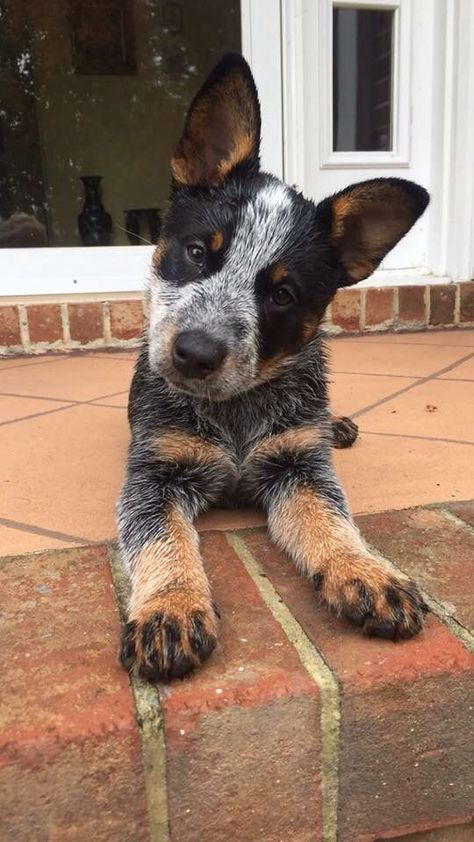 Australian Cattle Dog Dog Breed Information, Popular Pictures - Dogs - Chien Perro Blue Heeler, Blue Heelers, Blue Heeler Dog, Cute Dogs And Puppies, I Love Dogs, Doggies, Dalmatian Puppies, Aussie Cattle Dog, Cattle Dogs