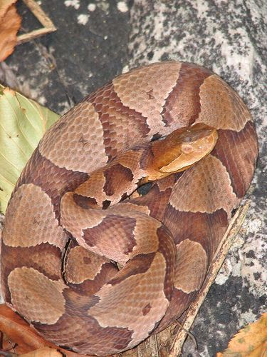 Pa Copperhead Snake Gaboon Viper Beautiful Snakes Snake In The Grass