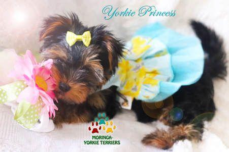 Available Micro Teacup Yorkies Toy Yorkie Puppies Yorkie Terrier Puppies Parti Yorkie Puppies Choc In 2020 Yorkie Puppy For Sale Teacup Yorkie Puppy Yorkie Terrier