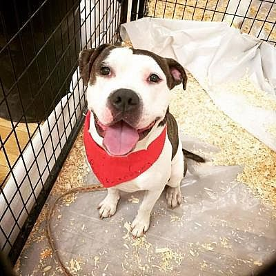 Woodland Park Nj American Bulldog Meet Bruno Brunelli Happy Face A Dog For Adoption Puppies Yorkshire Terrier Puppies Pet Adoption