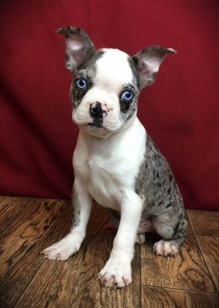 Boston Terrier Puppies For Sale Lincoln Ne Boston Terrier