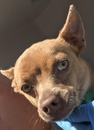 Animal Id 35917400 Species Dog Breed Chihuahua Short Coat Mix Age