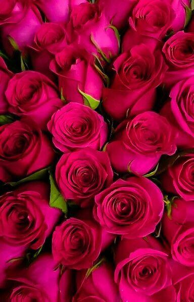 الورود الفوشيه ورود طبيعية Rose Flower Bouquet Wedding Beautiful Flowers