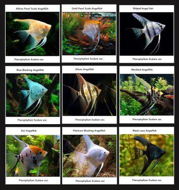 Catfish Price List Scientific Name Common Name Size Pcs Box Fob Price Ancistrus Temminckii L144 Angel Fish Fresh Water Fish Tank Tropical Freshwater Fish