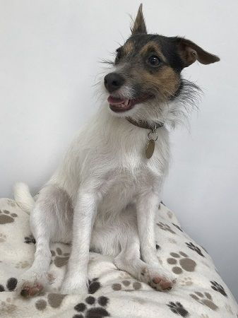 Bluebell Belle Reserved Dog Rescue Adoption Fostering In London Kent Hampshire Pro Dogs Direct Dog Adoption Terrier Rescue Dogs