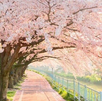 This Makes Me Think Of Anne Shirleys White Way Of Delight Although The Trees Here Are Only On One Side Pink Trees Beautiful Nature Blossom Trees