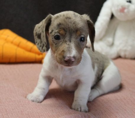 Diva A Charismatic Uabr Dachshund Puppy For Sale In Caulfield Missouri Dachshund Puppies For Sale Puppies For Sale Spaniel Puppies For Sale