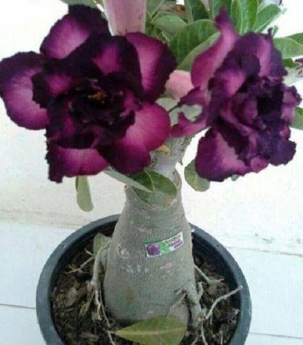 BUY 3 Get 2 FREE Dark Purple Adenium Obesum 1 Pcs SEED Desert Rose