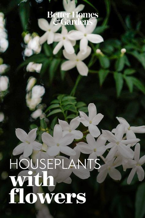 There are many types of jasmine. Flowered jasmine and Arabian jasmine are two of the easiest to grow just give them plenty of light and moisture. They'll bear fragrant pink to white blooms on vining plants. #indoorflowers #houseplantswithflowers #floweringhouseplants #bhg
