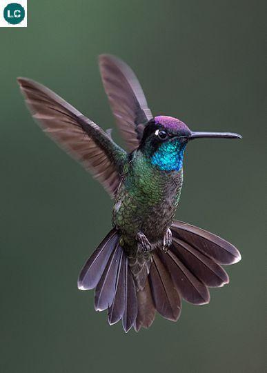 Blue Neck Hummingbird Colibri De Cuello Azul Aves De Colores