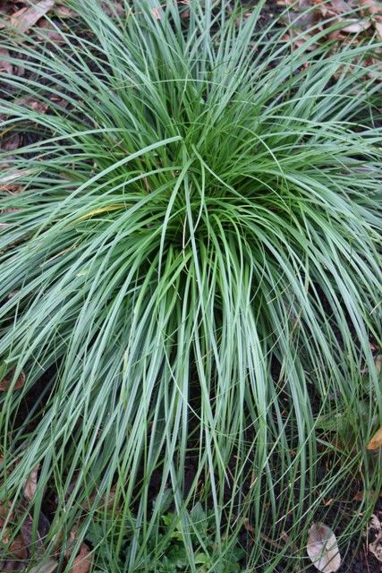 Ornamental Grasses Florida Sapphire blue oat grass ornamental grasses pinterest grasses sapphire blue oat grass ornamental grasses pinterest grasses and gardens workwithnaturefo
