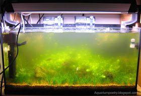 Aquarium Algae Id Updated May6th 10 Surface Skum Green Water Algae Bloom Aquarium Algae Green Fish Tank