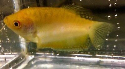 Golden Gourami Live Tropical Aquaruim Tank Fish 6 7cm Read Delivery Areas 4 24 Live Aquarium Fish Aquarium Fish For Sale Live Freshwater Fish