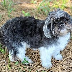 Maltese And Shih Tzu Mixed Dog For Adoption In Fairfax Virginia