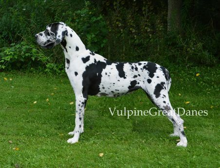 Vulpine Great Danes Our Girls Great Dane Dane